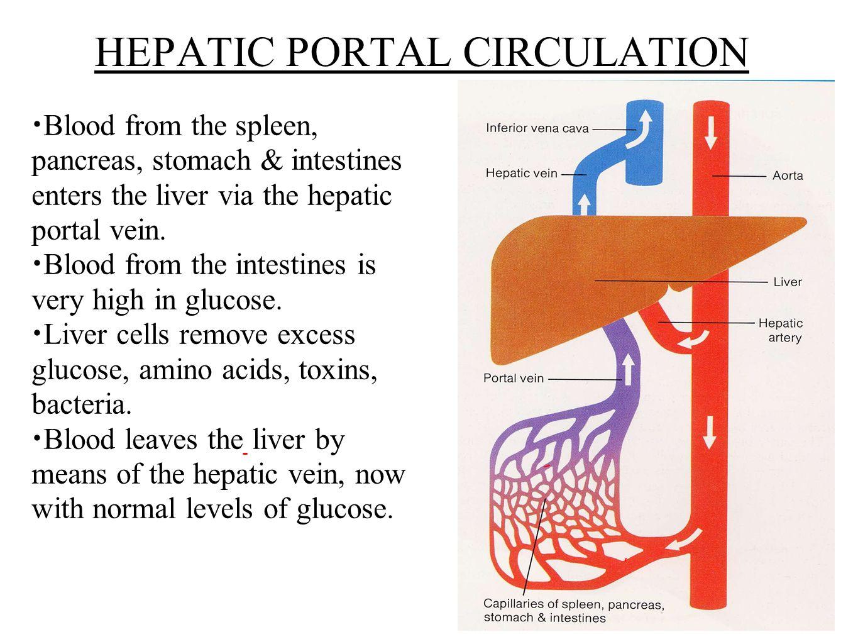 Glucose metabolism diabetes ppt download hepatic portal circulation pooptronica