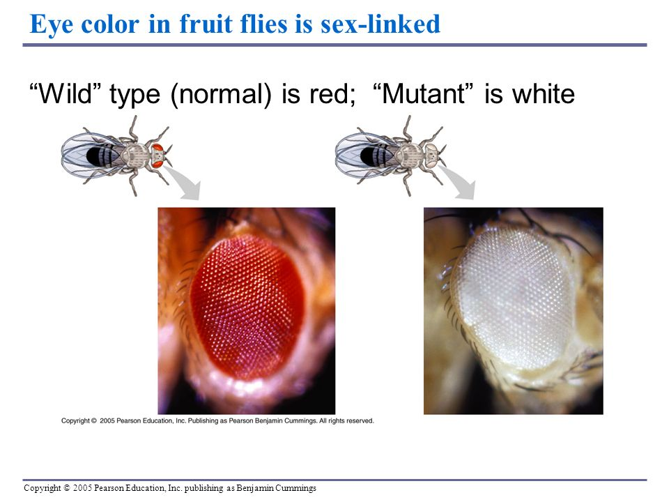 drosophila melanogaster eye color inheritance