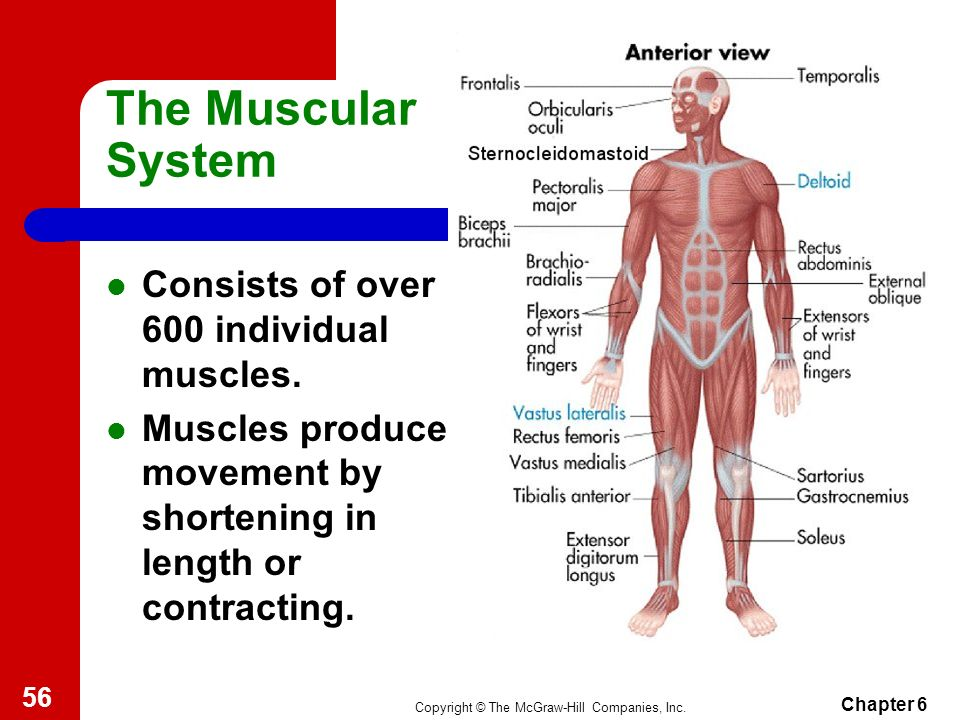 Lujoso The Muscular System Anatomy And Physiology Motivo - Anatomía ...