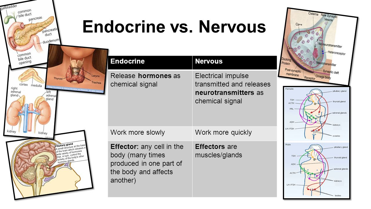 Short essay on The Endocrine System