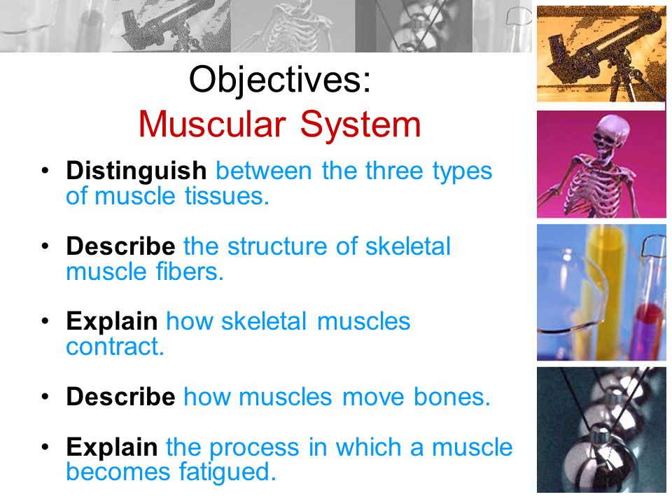an introduction to the body systems - ppt download, Muscles