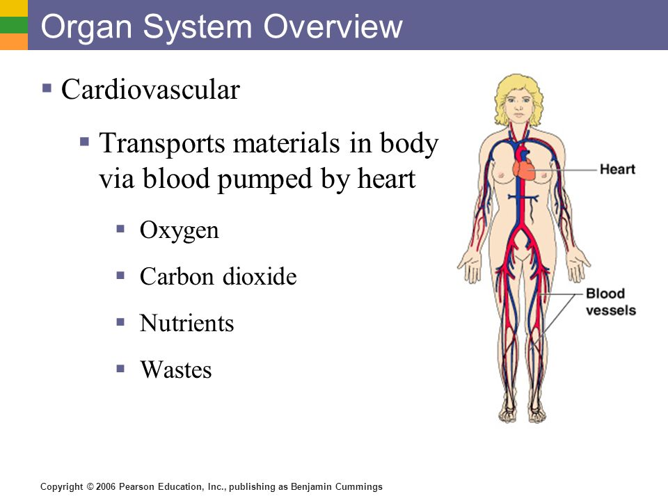 overview of the cardiovascular system essay Human cardiovascular system, organ system that conveys blood through vessels to and from all parts of the body, carrying nutrients and oxygen to tissues and removing carbon dioxide and other wastes it is a closed tubular system in which the blood is propelled by a muscular heart.