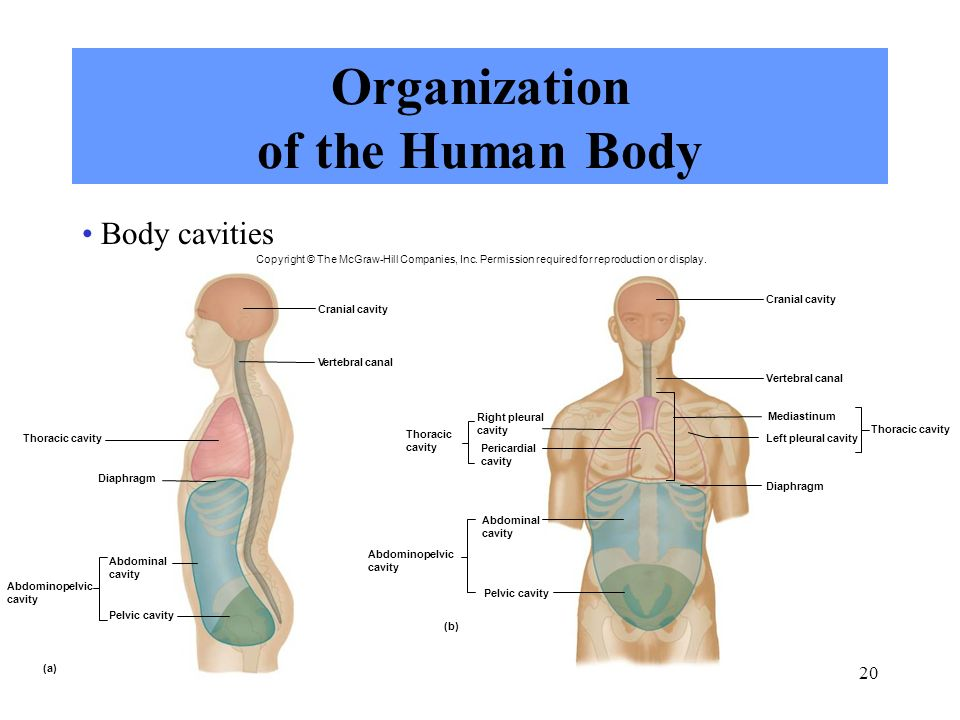 3636494 as well Fisiologi Senam Respiration During Exercise further Peritoneo further 5959725 further 14 The Pleura And Pericardium Bone Formation Formation Of The Blastocyst And The Bilaminar Germ Disc. on thoracic membranes and cavities