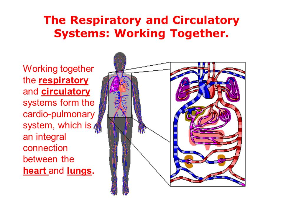 How The Circulatory System Works With The Respiratory System Heart