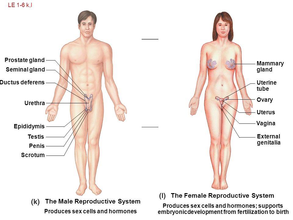 Unique human body reproductive system pictures vignette anatomy human body reproductive system pictures images human anatomy ccuart Choice Image