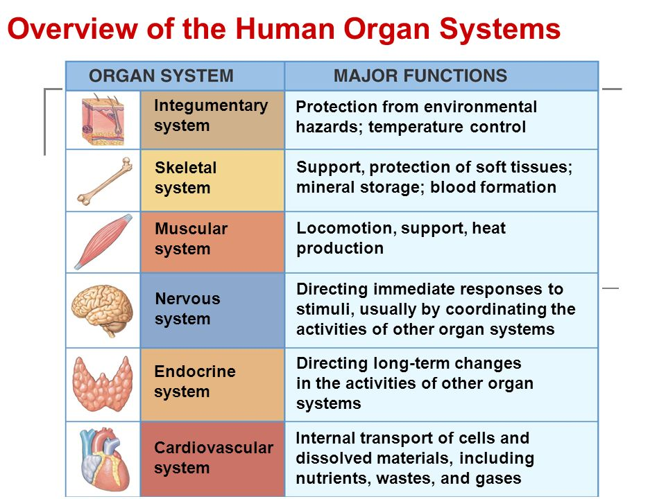 an overview of the muscular system of the human body The muscular system is responsible for the movement of the human body, circulation of blood throughout the body and maintaining posture together with the skeletal system, the muscular.