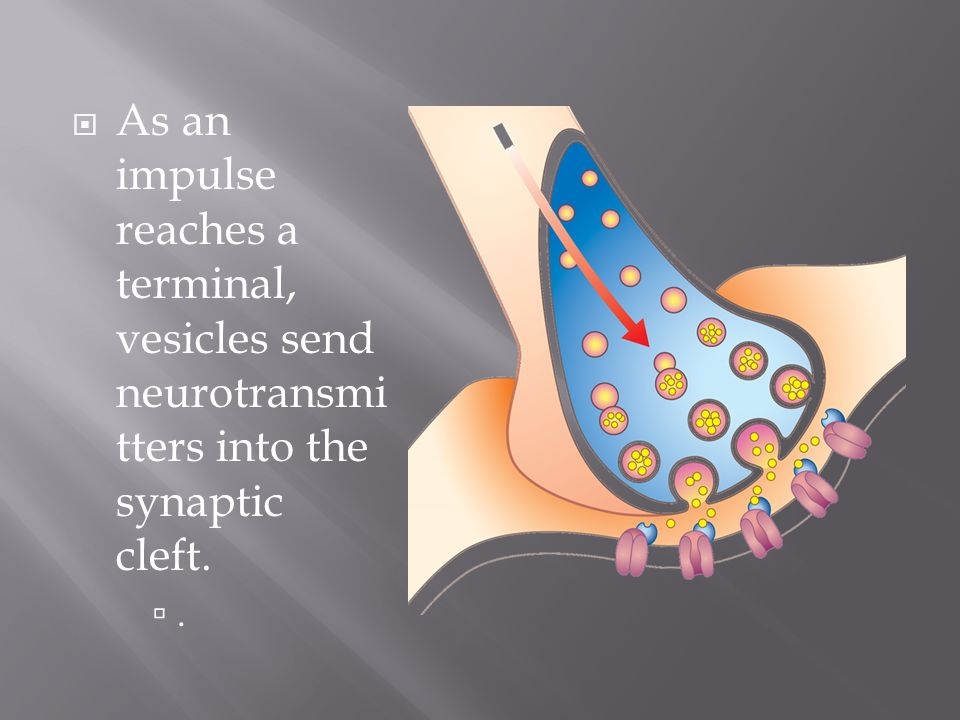 As an impulse reaches a terminal, vesicles send neurotransmitters into the synaptic cleft.