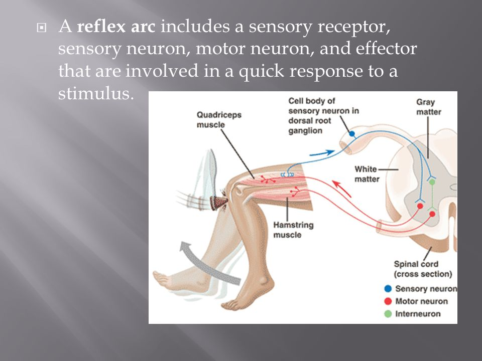 A reflex arc includes a sensory receptor, sensory neuron, motor neuron, and effector that are involved in a quick response to a stimulus.
