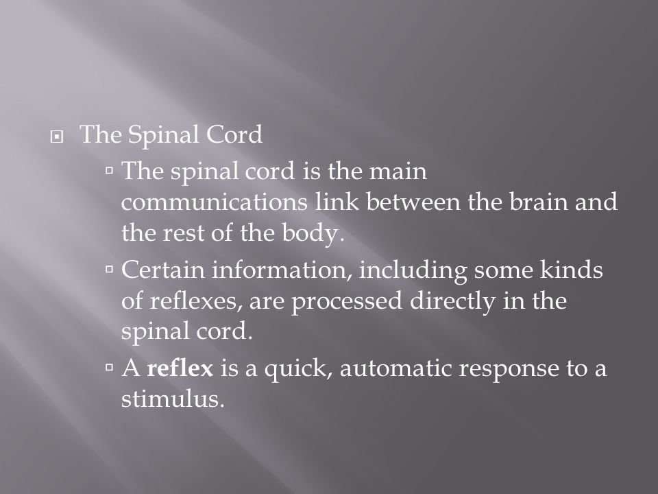 The Spinal Cord The spinal cord is the main communications link between the brain and the rest of the body.