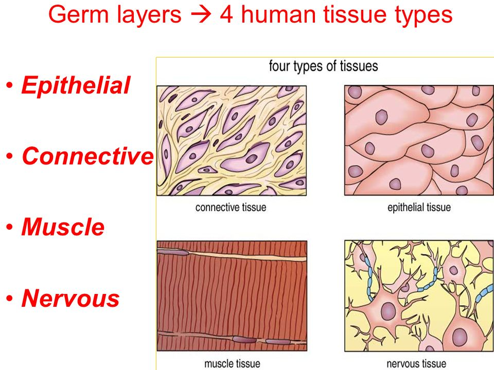 types of human tissues In the 3- to 5-day-old embryo, called a blastocyst, the inner cells give rise to the entire body of the organism, including all of the many specialized cell types and organs such as the heart, lungs, skin, sperm, eggs and other tissues in some adult tissues, such as bone marrow, muscle, and brain, discrete populations of adult stem cells.
