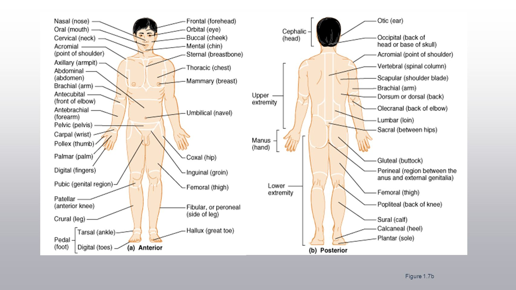 worksheet. The Human Body An Orientation Worksheet Answers ...