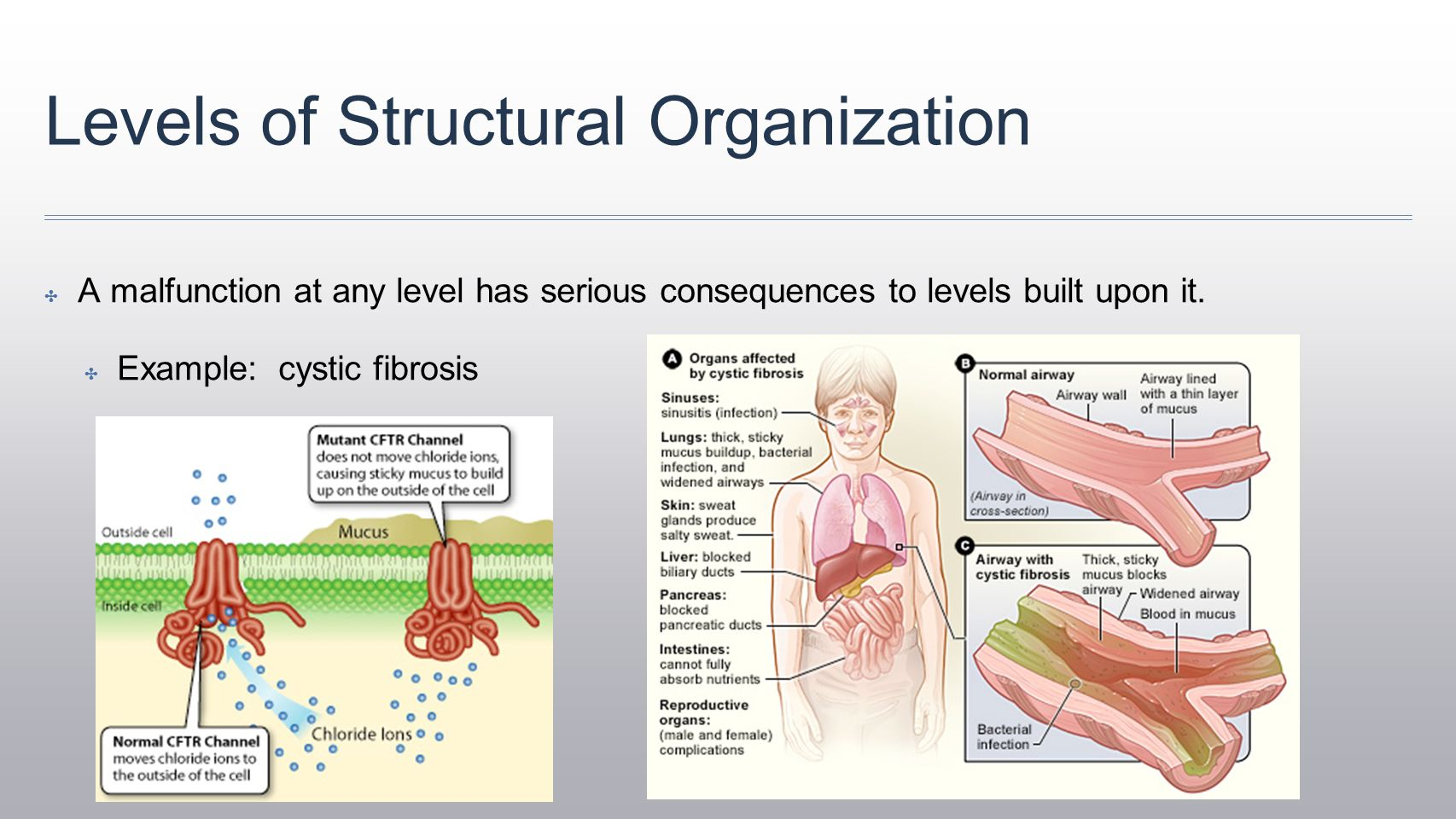 Encantador Levels Of Structural Organization Anatomy And Physiology ...