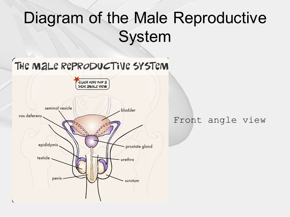 The male reproductive system ppt video online download front angle view diagram of the male reproductive system ccuart Choice Image