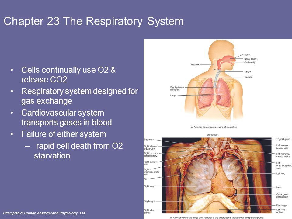 Groß Anatomy And Physiology Chapter 23 Respiratory System Quizlet ...