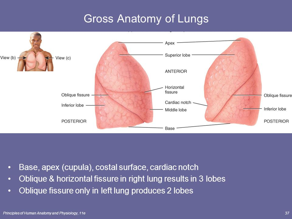 Contemporary Surface Anatomy Of Lung Lobes Photo Human Anatomy