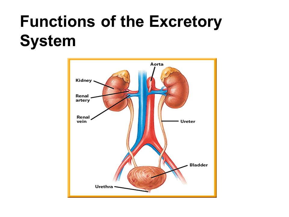 Functions Of The Excretory System Ppt Video Online Download