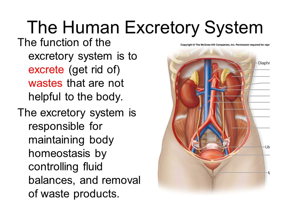 functions of the excretory system - ppt video online download, Cephalic Vein