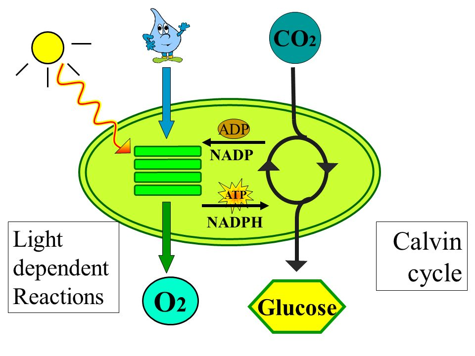 Light dependent reaction and calvin cycle