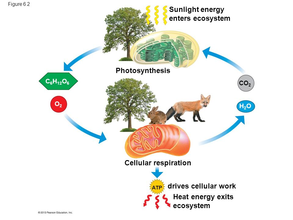 photsynthesis and cellular espiration Photosynthesis and cellular respiration are complementary biochemical reactions photosynthesis requires the products of respiration, while respiration requires the products of photosynthesis.