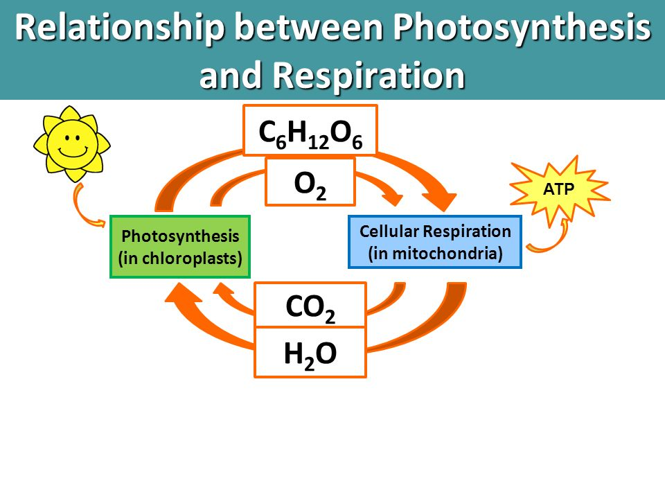 Cellular relationship and photosynthesis between respiration
