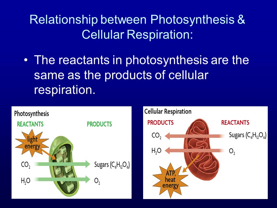 Relationship between Photosynthesis & Cellular Respiration: