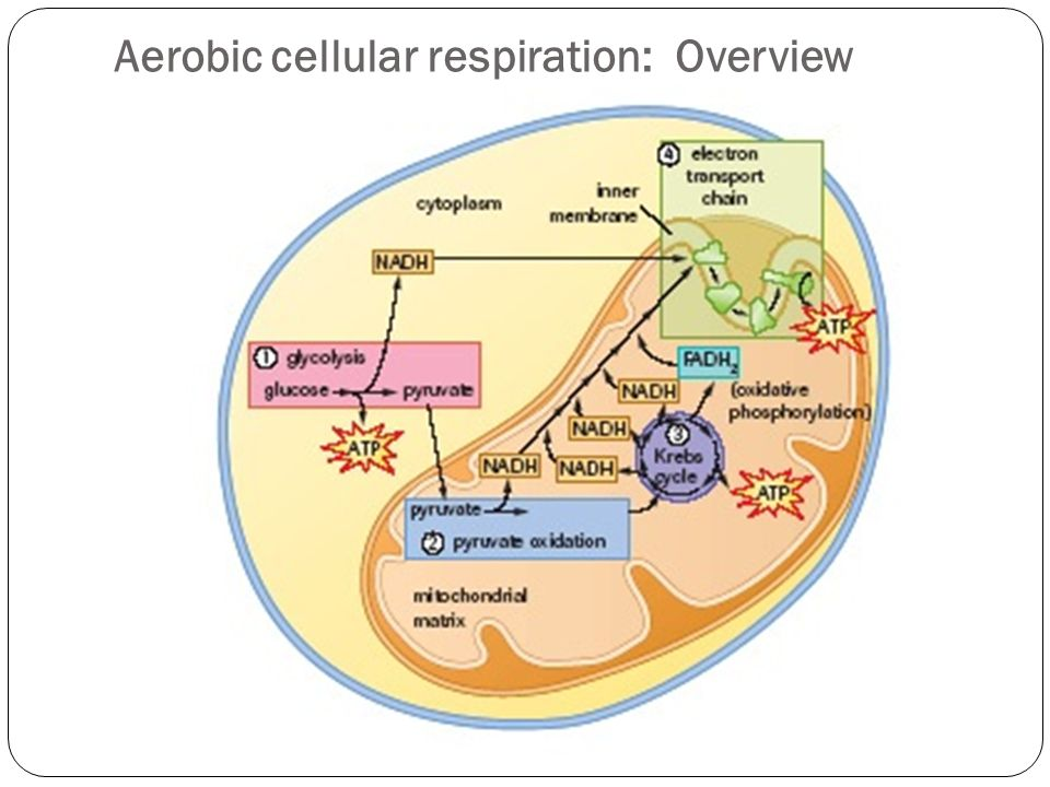 Cellular respiration 73 aerobic respiration ppt video online 4 aerobic cellular respiration overview ccuart Choice Image