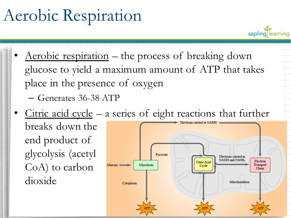 aerobic respiration Time-saving lesson video on aerobic respiration with clear explanations and tons of step-by-step examples start learning today.