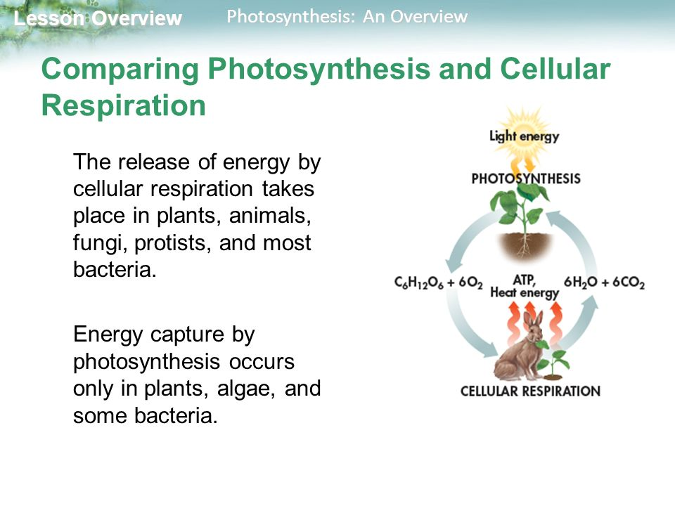 conclusion for photosynthesis and cellular respiration The box on the left side of the photosynthesis and cellular respiration sheet 7 the cellular metabolic process by which cells use oxygen and food to produce atp.