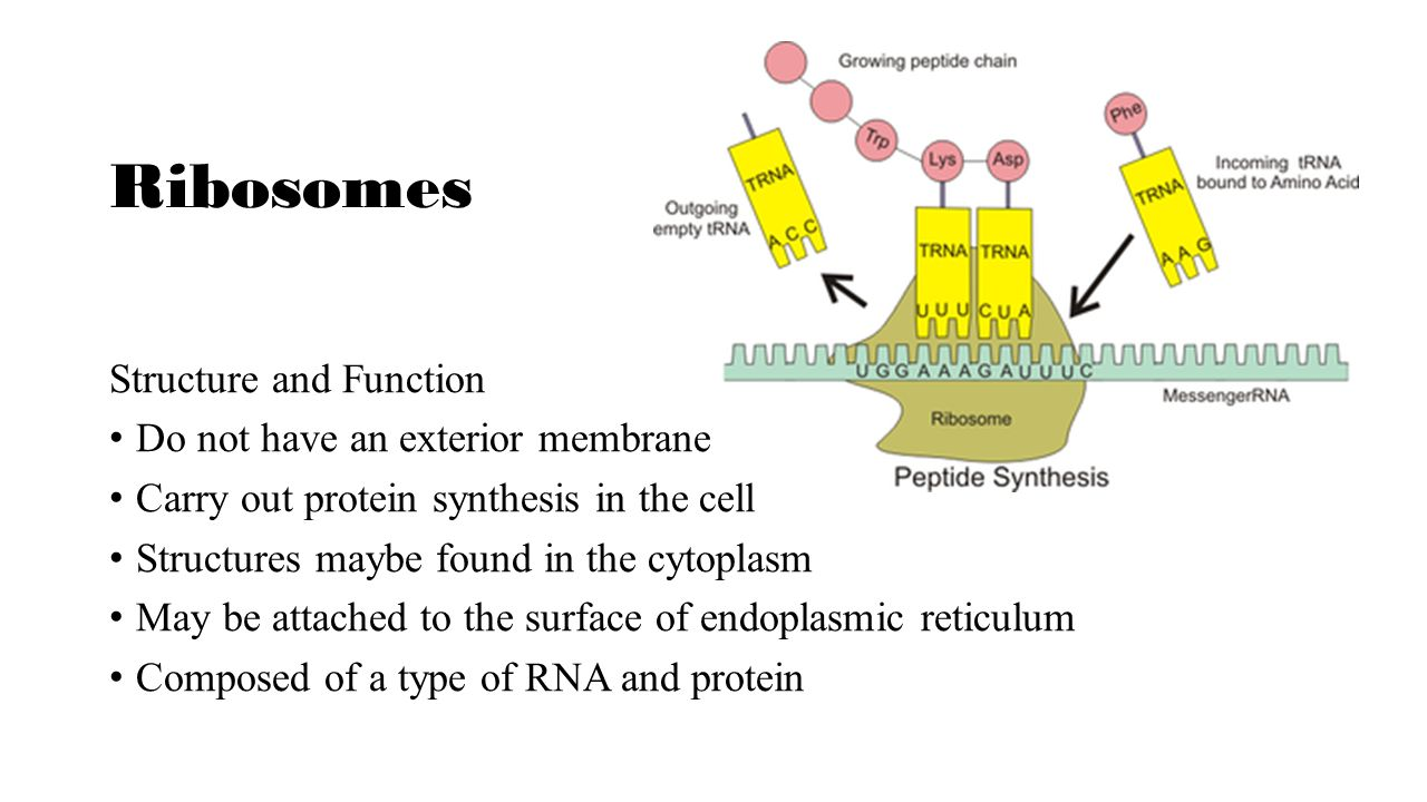 basic structure and function of ribosomes Ribosomes function as a workbench for protein synthesis whereby they receive and translate genetic instructions for the formation of specific proteins 4 during.