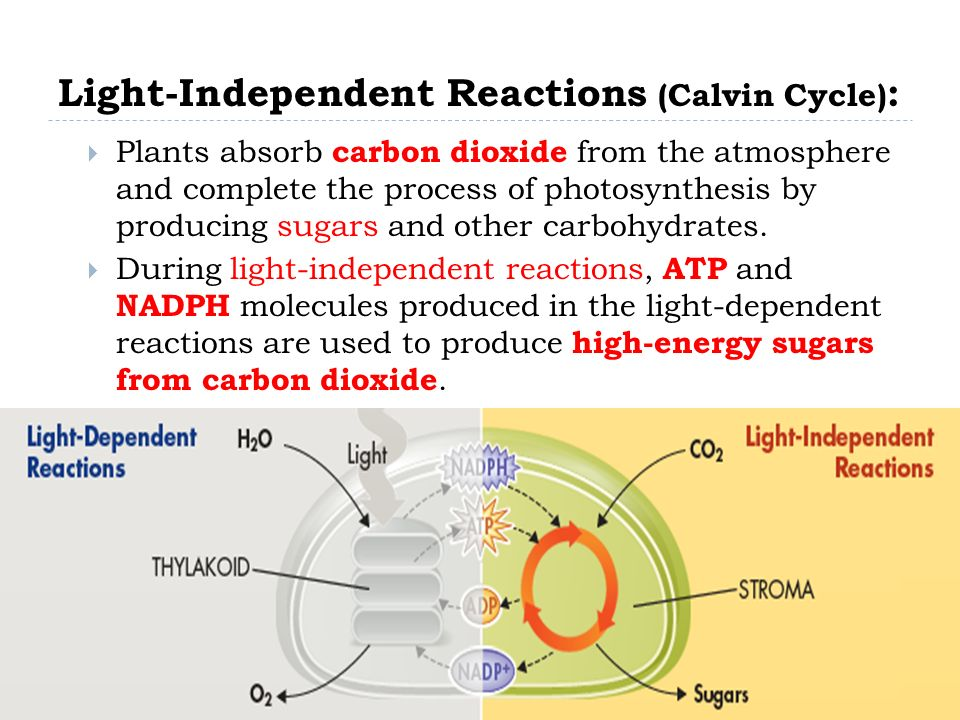 an introduction to the light dependent process Ib biology higher level lab report title:  water and undergo the process of the light-dependent reaction, oxygen is produced and released into.