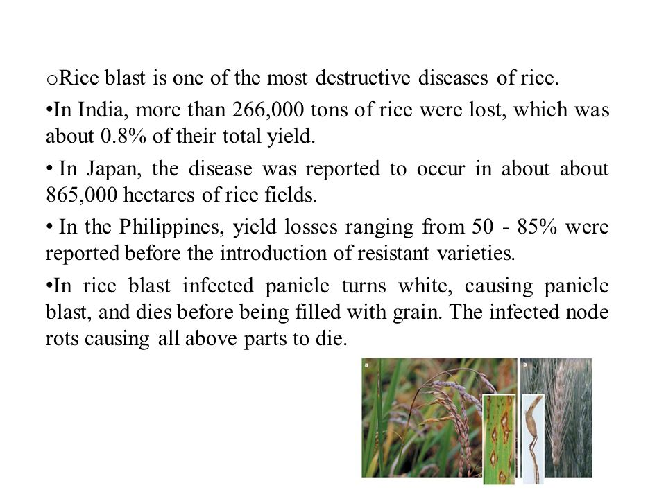 rice pests and diseases pdf