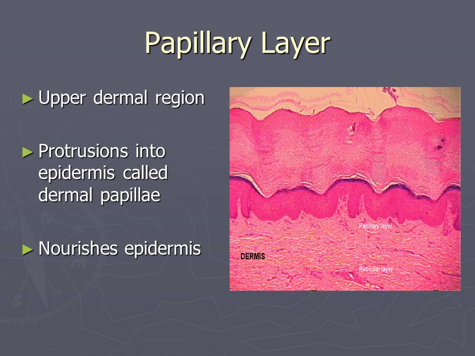 Papillary Layer Upper dermal region