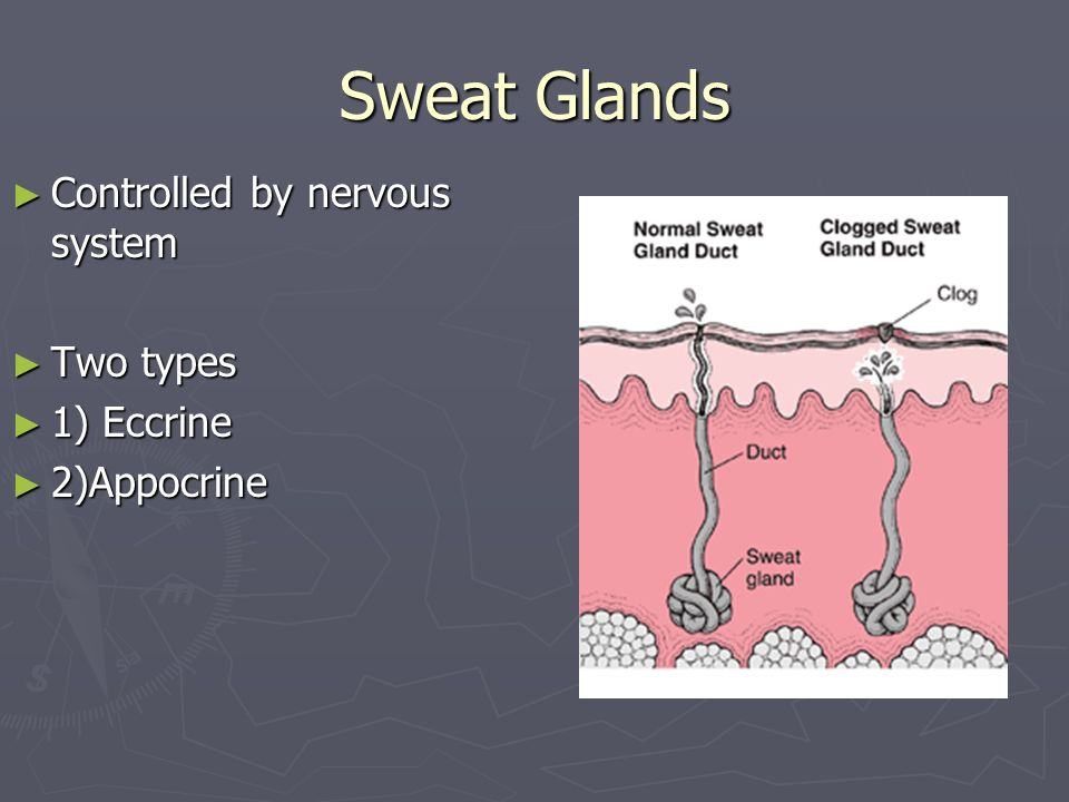 Sweat Glands Controlled by nervous system Two types 1) Eccrine