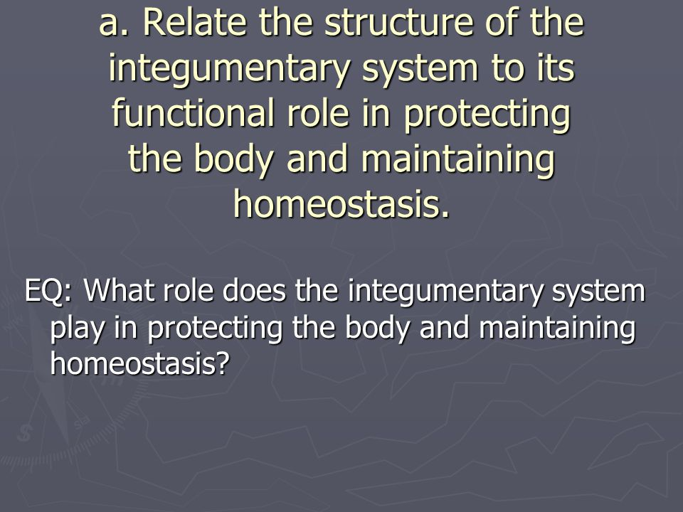 a. Relate the structure of the integumentary system to its functional role in protecting the body and maintaining homeostasis.