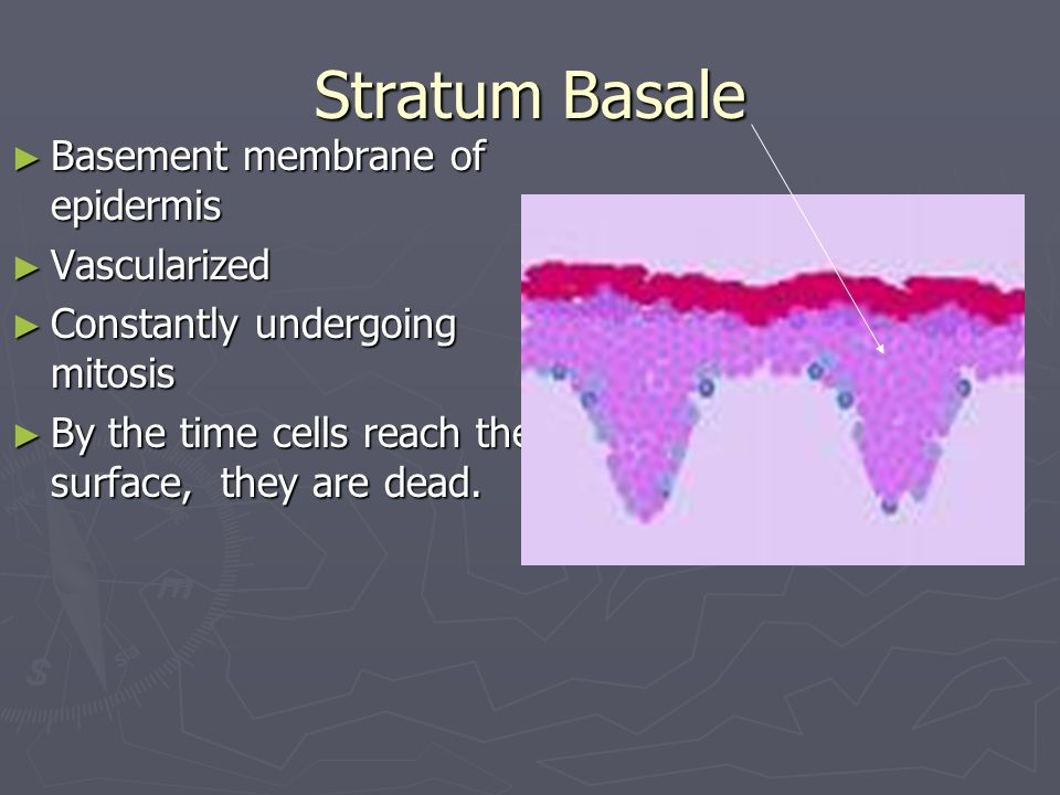 Stratum Basale Basement membrane of epidermis Vascularized