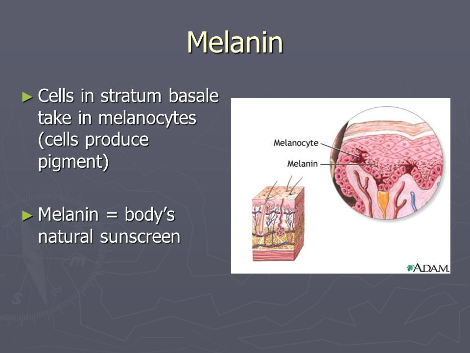 Melanin Cells in stratum basale take in melanocytes (cells produce pigment) Melanin = body's natural sunscreen.