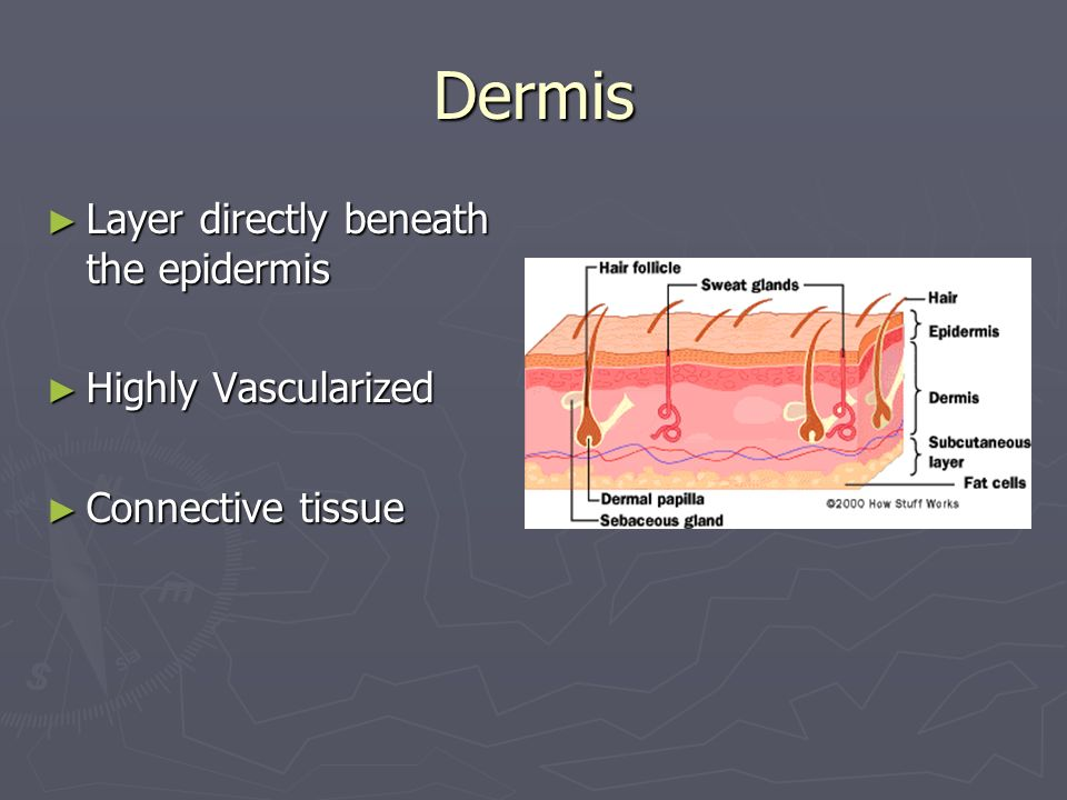 Dermis Layer directly beneath the epidermis Highly Vascularized