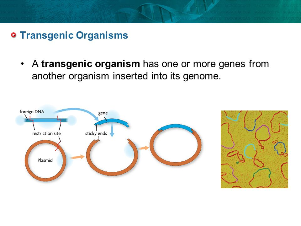 Transgenic Organisms A transgenic organism has one or more genes from another organism inserted into its genome.