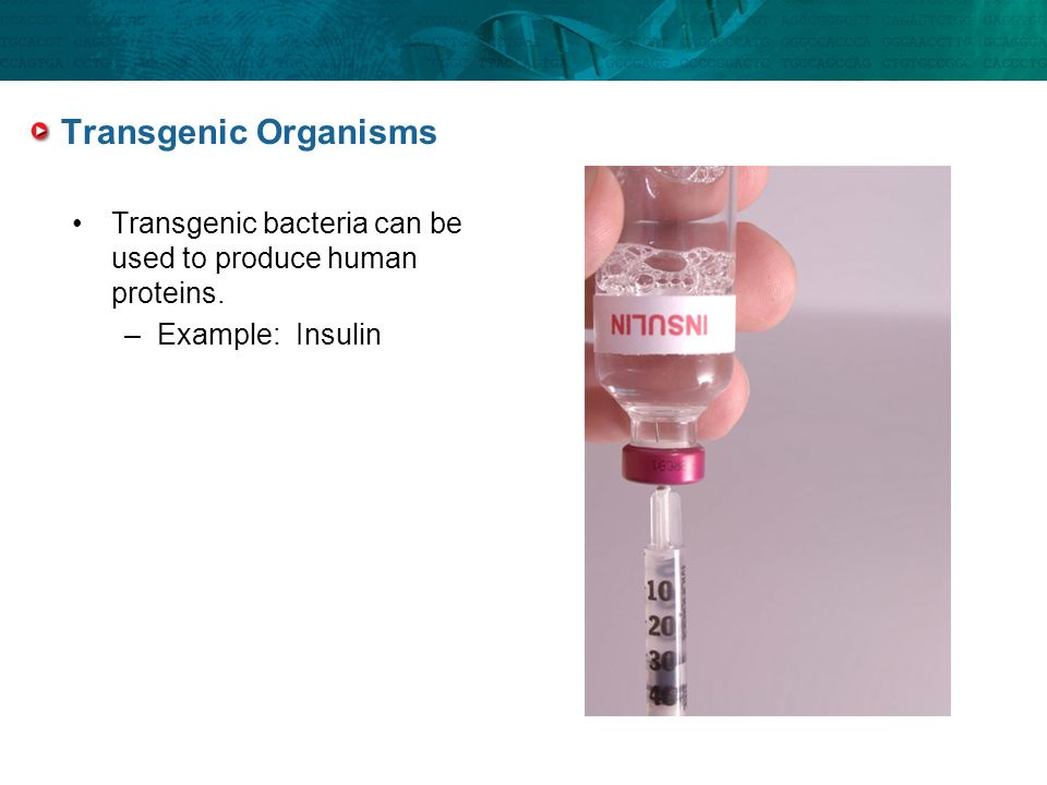 Transgenic Organisms Transgenic bacteria can be used to produce human proteins. Example: Insulin.