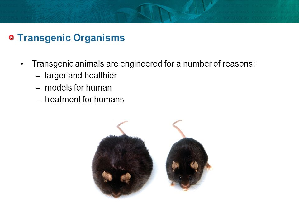 Transgenic Organisms Transgenic animals are engineered for a number of reasons: larger and healthier.