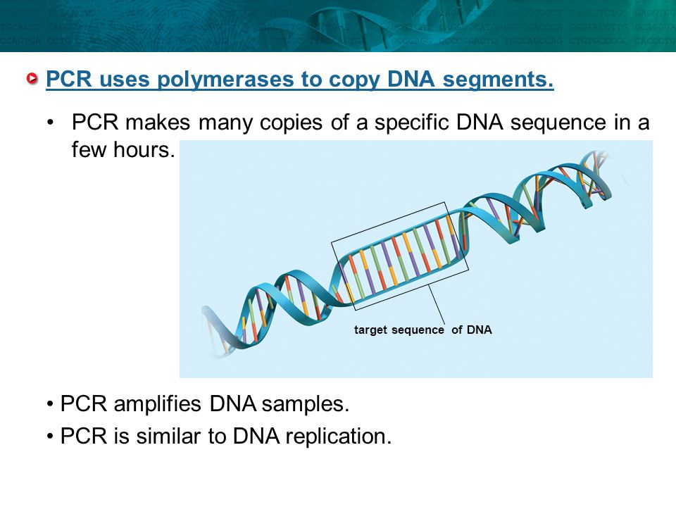 PCR uses polymerases to copy DNA segments.