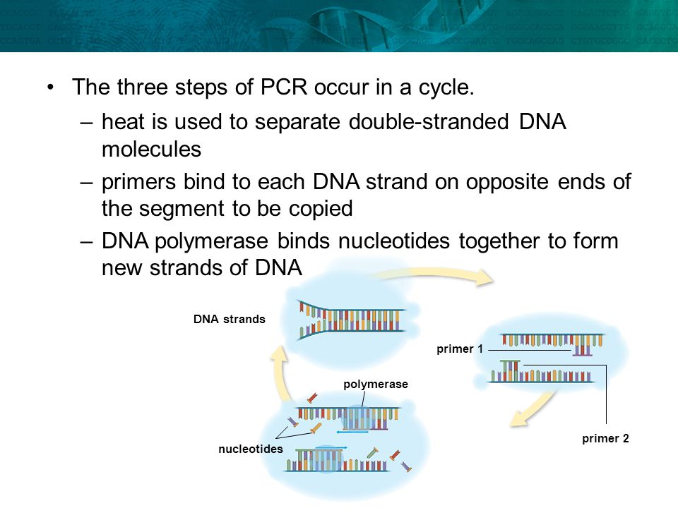 The three steps of PCR occur in a cycle.