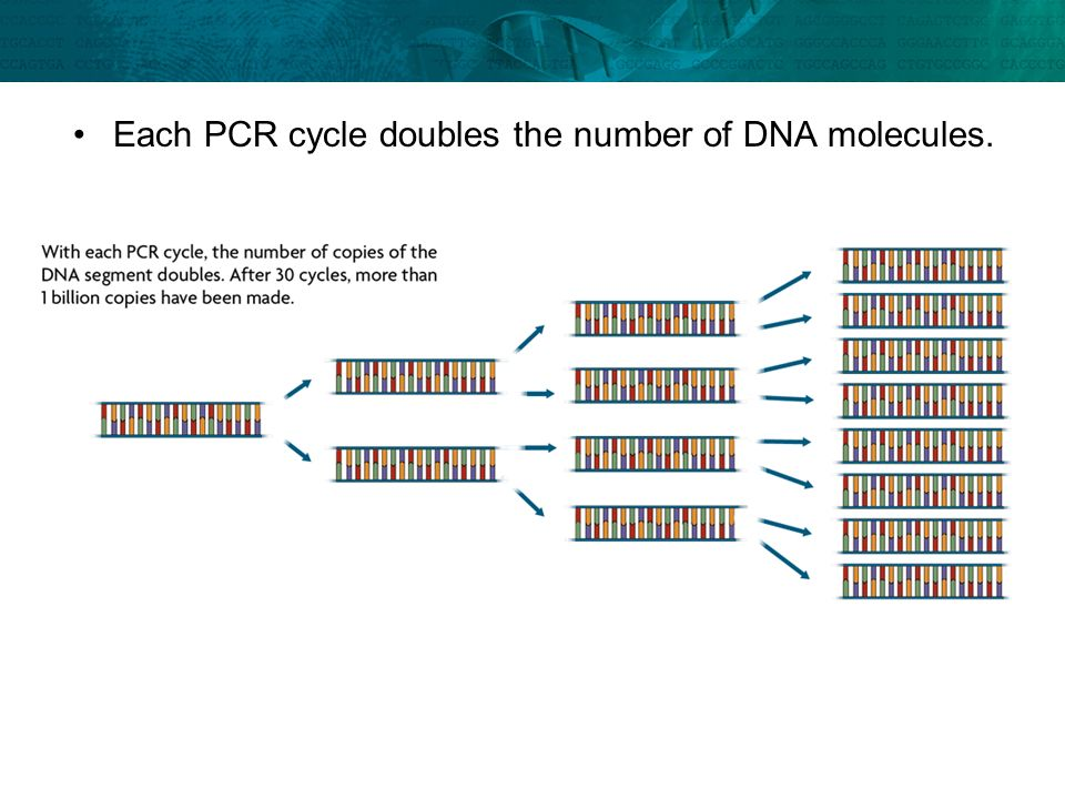 Each PCR cycle doubles the number of DNA molecules.