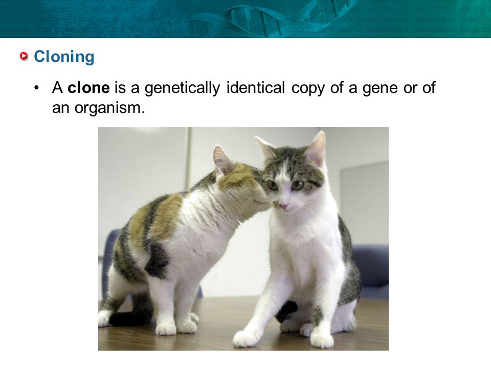 A clone is a genetically identical copy of a gene or of an organism.