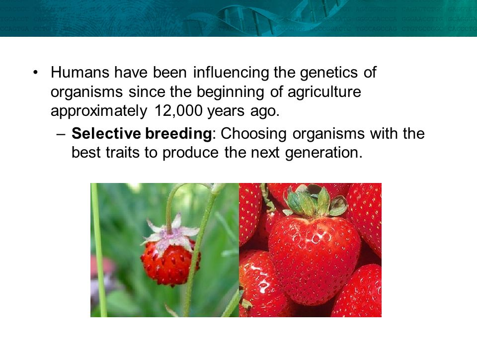Humans have been influencing the genetics of organisms since the beginning of agriculture approximately 12,000 years ago.