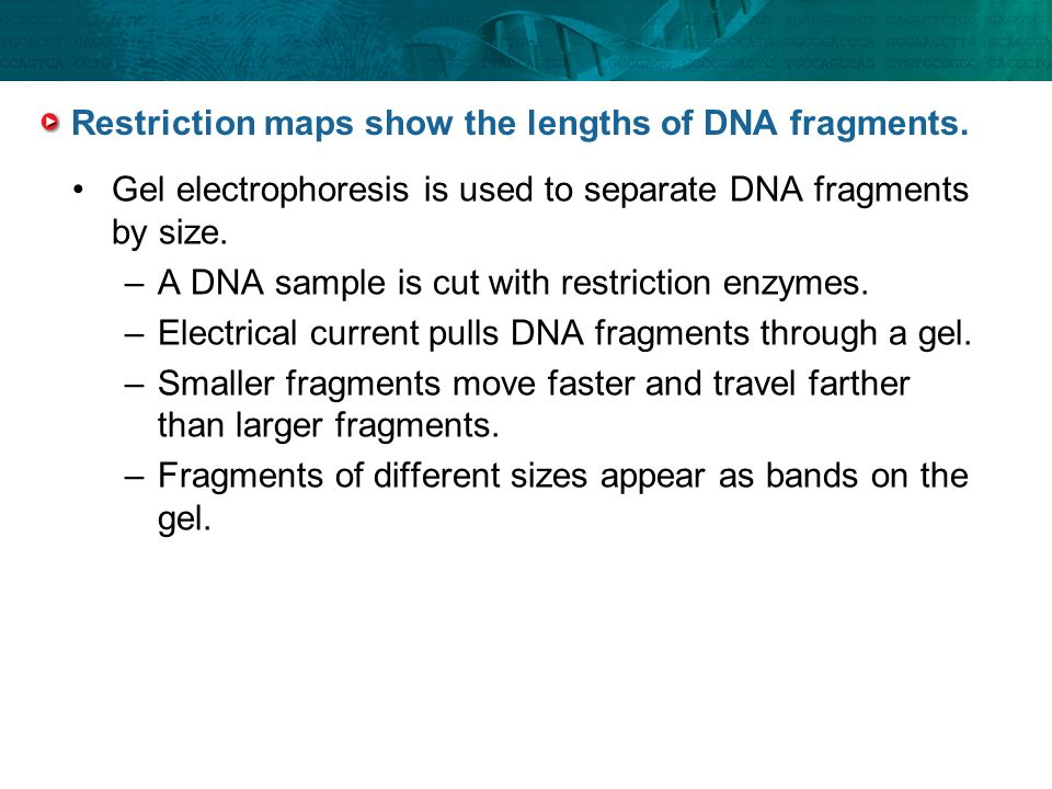 Restriction maps show the lengths of DNA fragments.