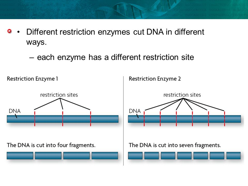 Different restriction enzymes cut DNA in different ways.