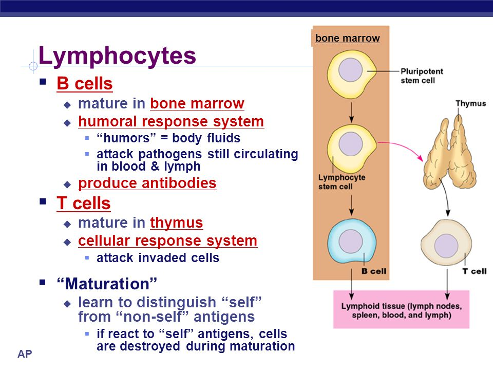 T Cells Mature Where