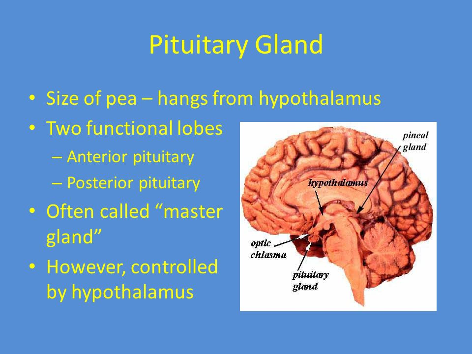 Endocrine System Ppt Download