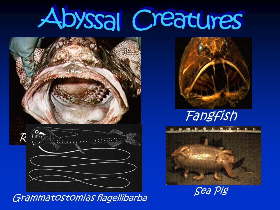 Abyssal Creatures Fangfish Rattail or grenadier fish Sea Pig